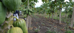 Agroforestry can improve food security - Photo by Isaiah Esipisu