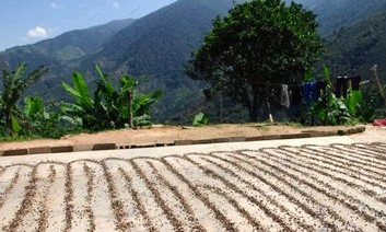 Coffee drying- San Isidro, Merida