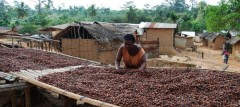 Cocoa production is often a man's world. Women assist but don't normally own any of the plantations. This gender imbalance could be one factor why children in regions of intensive cocoa production are malnourished. Photo: Elke de Buh
