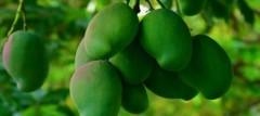 blog_w_mangoes