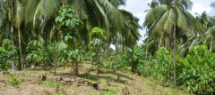 Rubber agroforestry with coconut. Photo by Andi Prahmono/ICRAF